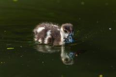 Vogel Egyptische Ganzen Chick Closeup Mirror stock afbeeldingen