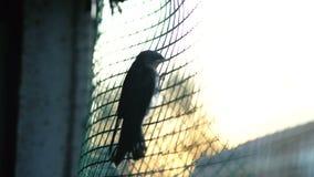 Vogel in einem Käfig, der Vogel wird oben zugeschlossen stock footage
