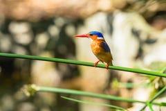 Vogel-Eisvogel-Sumpfgebiet lizenzfreie stockfotos