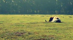 Vogel en koe samen stock foto