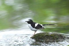Vogel en rivier die (Forktail met zwarte rug) op steen voor bac neerstrijken Royalty-vrije Stock Foto