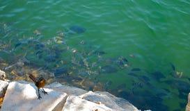 Vogel en vissen in vijver Stock Fotografie