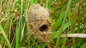Vogel errichtete das Nest in einem Stück Gras stockbilder
