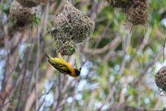 Vogel in Ethiopië Royalty-vrije Stock Foto's