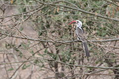 Vogel in Ethiopië Stock Afbeeldingen