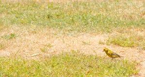Vogel - Europäer Greenfinch-Carduelis Chloris auf der Rasenfläche im Sommer mit Kopienraum in Neuseeland Stockfotografie