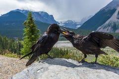 Vogel-Fütterungsjunge - Raben stockfoto