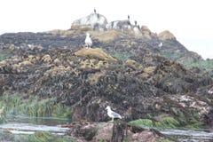 Vogel-Felsen, Pebble Beach, 17 Meilen-Antrieb, Kalifornien, USA Lizenzfreies Stockfoto