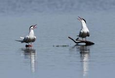 Vogel-Flussseeschwalbe-Sterna Hirundo Stockfoto