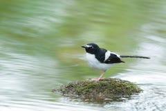 Vogel Forktail Met zwarte rug, die op steen met groene rivier s neerstrijken Stock Afbeelding