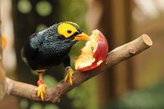 Vogel --- geel-onder ogen gezien Mynah Stock Afbeeldingen