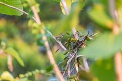 Vogel (Gemeenschappelijke tailorbird) op boom in aardwildernis stock foto