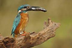 Vogel-gemeiner Eisvogel mit Fischen in der Rechnung Lizenzfreies Stockbild