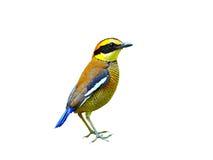 Vogel (Gestreepte die Pitta) op witte achtergrond wordt geïsoleerd Stock Foto's