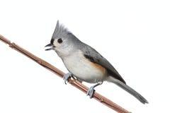 Vogel getrennt auf Weiß Stockfoto