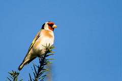 Vogel - Goldfinch Stockfoto