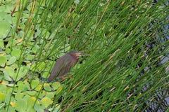 Vogel-Grünreiher stockbilder