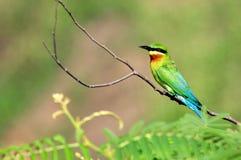 Vogel green1 Stock Afbeeldingen