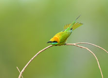 Vogel (Groene bij-Eter), Thailand Stock Afbeeldingen