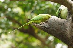 Vogel --- Groene Lory Stock Afbeeldingen