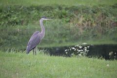 Vogel - Grote Blauwe Reiger Royalty-vrije Stock Foto's