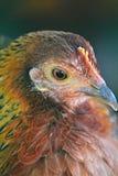 Vogel, Hühnermehrfarbiges Untersuchung den Abstand, Porträt lizenzfreie stockfotos