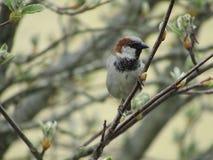 Vogel - Haussperling Lizenzfreie Stockbilder