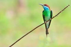 Vogel (het Blauw throated de eter van de Bij) Royalty-vrije Stock Afbeelding