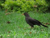 Vogel in het gras Royalty-vrije Stock Foto's