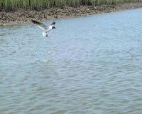 vogel het hoveing boven zout water in Charleston South Carolina met oesterbed en moerasachtergrond Royalty-vrije Stock Foto