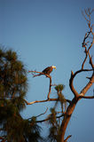 Vogel - het Kale Rusten van de Adelaar Royalty-vrije Stock Foto's