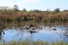 Vogel in het moeras royalty-vrije stock foto's