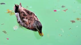 Vogel: Het ploeteren van eend Stock Afbeelding