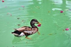 Vogel: Het ploeteren van eend het zwemmen Stock Afbeeldingen