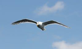 Vogel het vliegen Stock Foto