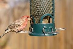 Vogel het voeden bij binnenplaatsvoeder Stock Foto's