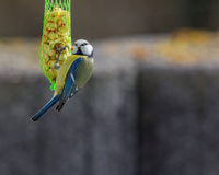 Vogel het Voeden in de Tuin Stock Afbeelding