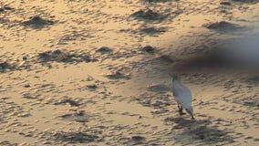 Vogel het voederen voedsel op mudflats stock footage