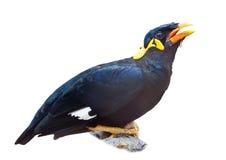 Vogel, Heuvel Myna, Neergestreken, geïsoleerdes, Witte Achtergrond Stock Foto