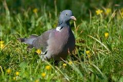 Vogel - houten pigeon1 Stock Fotografie