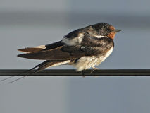 Vogel I, der auf dem elektrischen Gitter ein Sonnenbad nimmt Stockfotografie