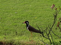 Vogel im Bauernhof Stockbild