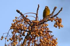 Vogel im Baum der weißen Zeder Stockfotos