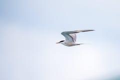 Vogel-im Flug - rosa Seeschwalbe lizenzfreies stockbild