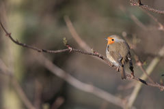 Vogel im Frühjahr Stockfoto
