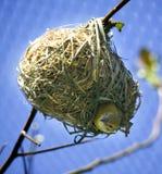 Vogel im Nest, das unten schaut Lizenzfreie Stockbilder