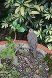 Vogel im Pflanzer, der vorsichtig schaut stockfotografie