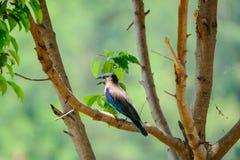 Vogel Jay auf dem Baum Lizenzfreie Stockfotografie