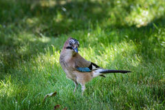 Vogel Jay/Garrulus glandarius Stockbild