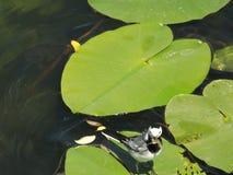 Vogel, Junge, Flussseeschwalbe, Bergbau, Libelle, Lizenzfreie Stockfotos
